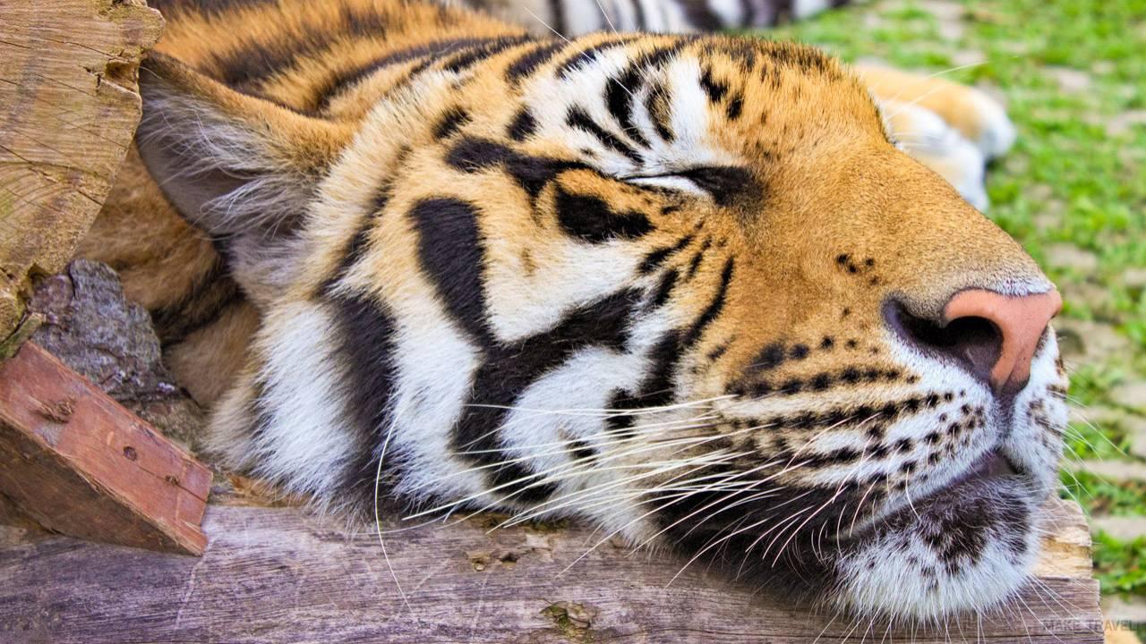 Королевство тигров на Пхукете - описание цена время работы