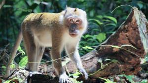 Стоянка обезьян у острова Сирэ