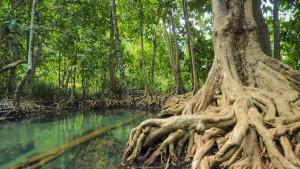 Мангровые леса в Краби