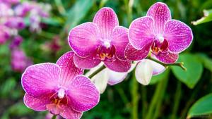 Ферма орхидей Сирипхон