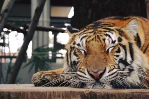 Тигровый парк Tiger Park Pattaya